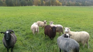 Familjen består av många fårskallar